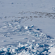 Common Eiders (Somateria mollissima) and King Eiders (Somateria spectabilis) on in flight over the Beaufort Sea ice pack. Off the coast of the Arctic National Wildlife Refuge. Alaska