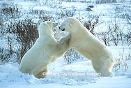 Polar Bears (Ursus maritimus) sparring  Churchill MB