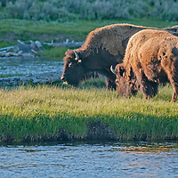 American Bison (Bison bison) graze beside the Madison River in Yellowstone National Park, Wyoming.
