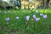 Greek Cyclamen, Cyclamen graecum, perennial wildflower grows through grass on woodland floor, Corfu, , Greece