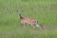 A doe and her tiny fawn make their way across a meadow on June 11, 2017, in Salmon, Idaho. (© 2017 Cindi Christie/Cyanpixel)