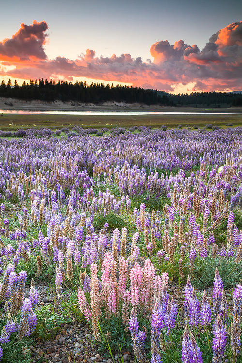 """""""Lupine at Boca Reservoir Sunset 3"""" - Photograph of Lupine wildflowers growing along the shore at Boca Reservoir in Truckee, California."""