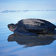 Leatherback Turtle heading out to the Atlantic Ocean after laying eggs at Playa Grande on the Nicoya Peninsula of Costa Rica