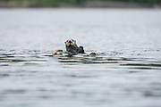 One upright and one swimming sea otter