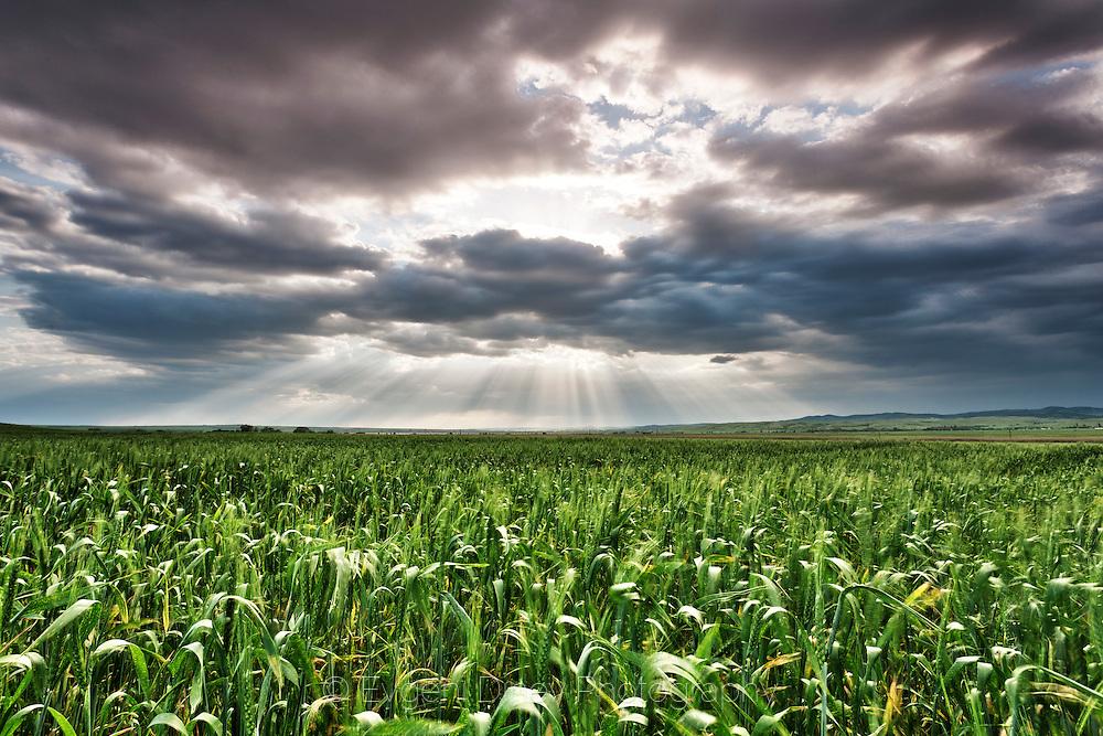 Sunbeams in green spring wheat field