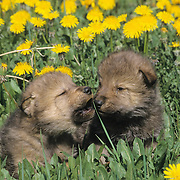 Gray Wolf (Canis lupus) pups in field of dandelions in Montana. Captive Animal