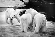 Schweden, SWE, Kolmarden, 2000: Eine Gruppe von Eisbaeren (Ursus maritimus) stehen neben einem toten Seehund, drei von ihnen sind beim Fressen, Kolmardens Djurpark. | Sweden, SWE, Kolmarden, 2000: Polar bear, Ursus maritimus, group of polar bears at a dead seal, three of them eating at the seal, Kolmardens Djurpark. |