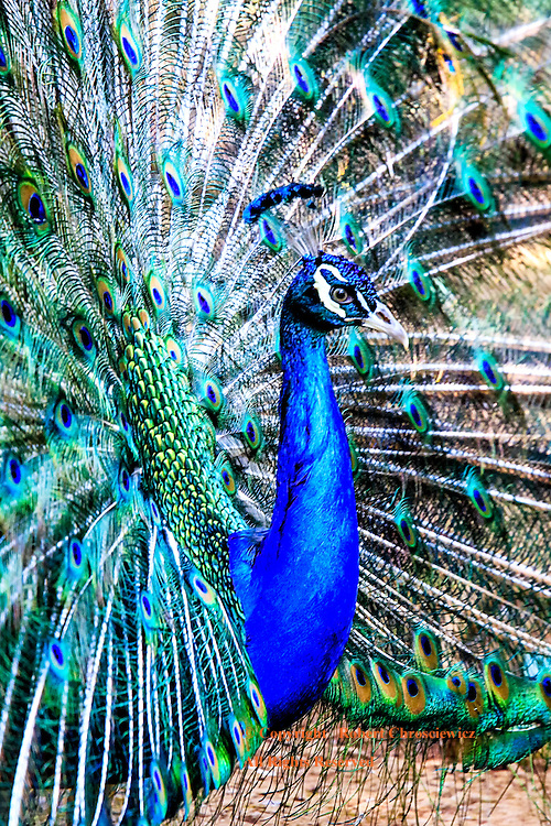 Proud Profile: A male Indian Peacock is caught in profile while in full display, Pyin Oo Lywin Myanmar.