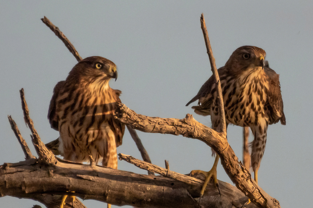 Two young Cooper's Hawks just hanging out.