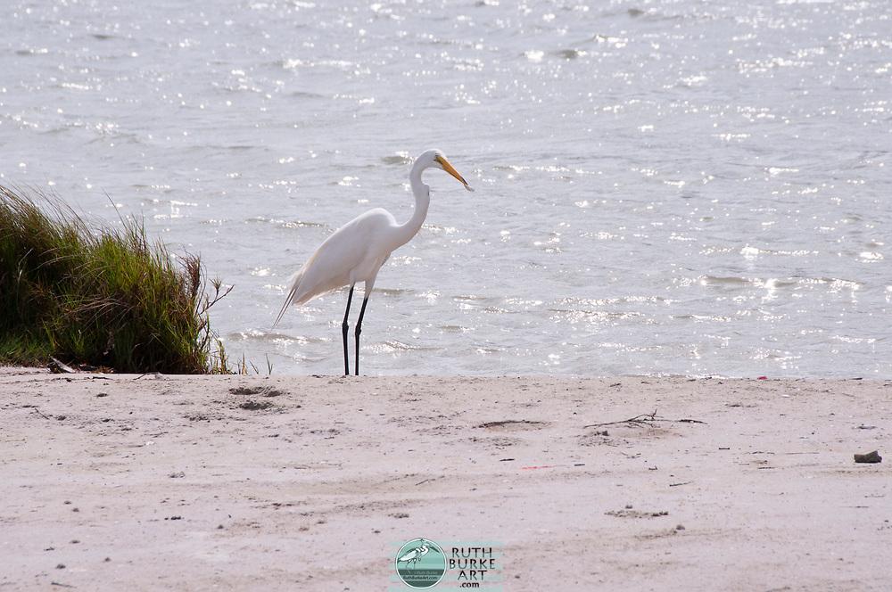 Black Skimmers and white egret