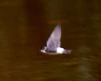 Mangrove Swallow . Semester at Sea Field Trip. Limon, Costa Rica. Image taken with a Nikon D3s camera and 70-300 mm VR lens