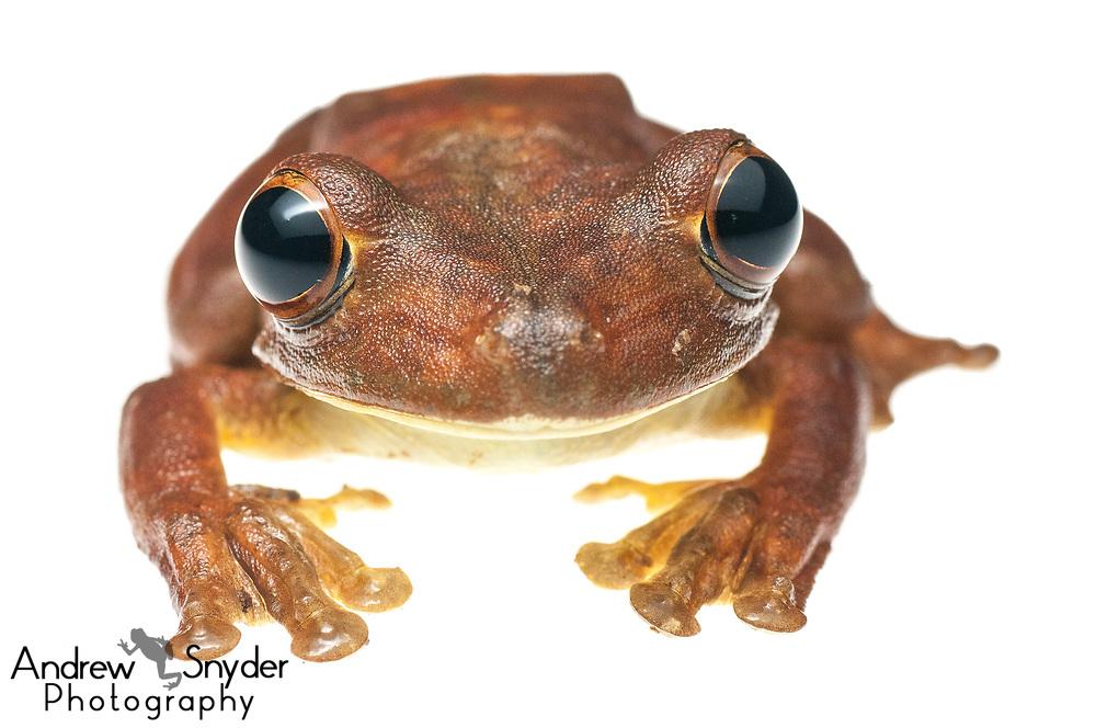 Gladiator Treefrog, Hypsiboas boans, Kanuku Mountains, Guyana, July 2013