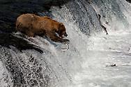 "Bear #775, known as ""Lefty,"" misses a salmon at Brooks Falls in Katmai National Park, Alaska"