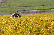 Vineyard. Pommard, Cote de Beaune, d'Or, Burgundy, France