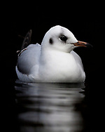 Black-headed Gull - Chroicocephalus ridibundus - winter adult
