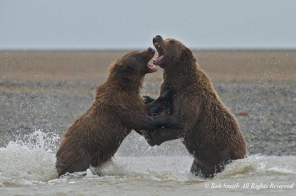 Brown bear fighting over fishing spot in Silver Salmon Creek.