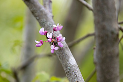 Bloom on a redbud tree