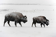 American bison cow and calf walking in a blizzard in Yellowstone National Park