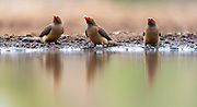 Red-billed oxpeckers (Buphagus erythrorhynchus) from Zimanga, South Africa.