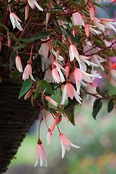 Begonia 'Million Kisses Elegance' in a hanging basket