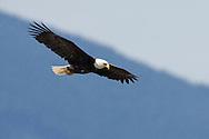 Bald Eagle (Halietus leucocephalus) soaring
