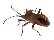 COREUS MARGINATUS<br /> DOCK BUG