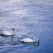 Trumpeter Swan pair on the Yellowstone River. Yellowstone National Park, Wyoming