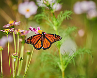 Monarch butterfly feeding on a Cosmos flower. Image taken with a Nikon D850 camera and 200-500 mm VR lens.