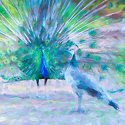 India blue peacock displaying feathers in garden setting whie intrigued peahen looks on. Original photograph with painted effects.
