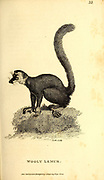 Wooly Lemur from General zoology, or, Systematic natural history Part I, by Shaw, George, 1751-1813; Stephens, James Francis, 1792-1853; Heath, Charles, 1785-1848, engraver; Griffith, Mrs., engraver; Chappelow. Copperplate Printed in London in 1800. Probably the artists never saw a live specimen