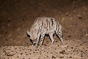 Striped Hyena (Hyaena hyaena) arava desert, israel