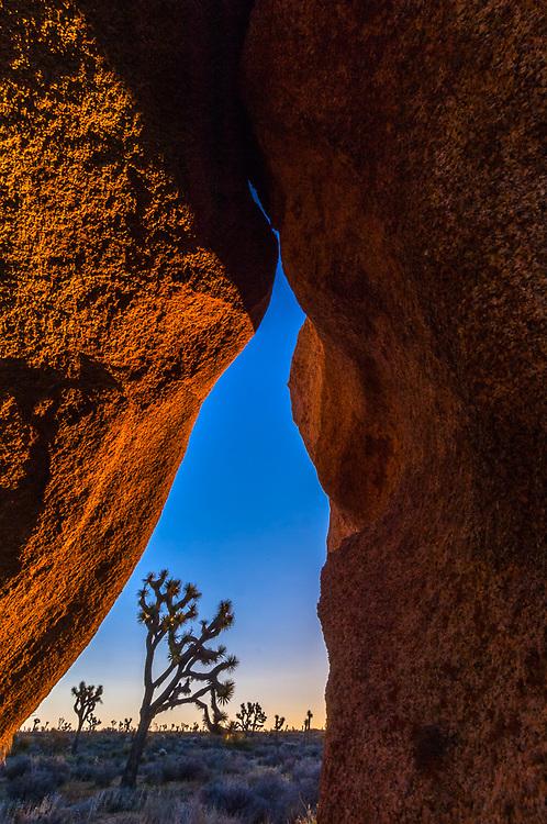 Joshua trees, (Yucca brevifolia), framed by granite boulders, morning light, March, Joshua Tree National Park, California, USA