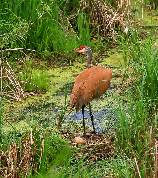 Nesting Sandhill Crane with two eggs visible in wetlands off Sugar River Bike Trial. Photo taken May 25, 2015.