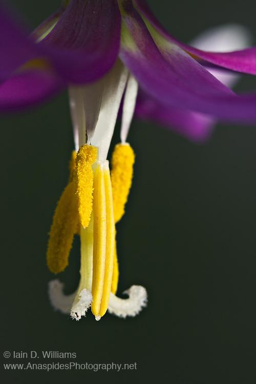 Dog Tooth Violet (Erythronium grandiflorum) - Tasmania..Endemic to the United States