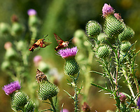 Hummingbird Clearwing Moth feeding on on Thistle flowers. Image taken with a Nikon D3x camera and 105 mm f/2.8 macro lens (ISO 100, 105 mm, f/5.6, 1/400 sec)