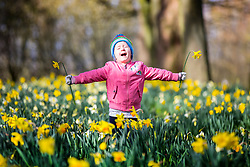 © Licensed to London News Pictures. 11/03/2019. Leeds UK. 3 year old Scarlet plays in the Daffodils at Temple Newsam park this morning in Leeds as the county awoke to bright sunshine after a weekend of strong winds & snow that are expected to return this week. Photo credit: Andrew McCaren/LNP