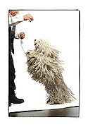 """SHOT 2/18/08 2:47:24 PM - Portraits of various dogs at the 13th Annual Rocky Mountain Cluster dog show at the National Western Complex in Denver, Co. """"YoYo"""", a nine year old male Puli shows off the long braided cords indicative of the breed as he jumps up for a treat from his owner Earl Gebhardt of Arvada, Co. """"YoYo"""" is a champion Puli. The Puli is a medium-small breed of dog known for its long, corded coat and was the dog of Hungarian peasants. The tight curls of the coat, similar to dreadlocks, make it virtually waterproof. The Puli is a solid colored dog that can be black, white, gray or a cream color, """"fako"""" in Hungary. The Puli is an ancient sheep dog of Hungary, introduced by the migration of the Magyars from Central Asia in the Middle Ages. Nomadic shepherds of the Hungarian plains valued their herding dogs, paying as much as a year's salary for a Puli. In Asia, the breed goes back 2000 years and anecdotal evidence suggests a Puli-like dog existed 6000 years ago. This breed is possibly the ancestor of the modern Poodle. Puliks are very intelligent, have excellent agility, are obedient and athletic. They are also fabulous herding dogs. They get attached to their owner and can be wary of strangers. The dog show features some of the top show dogs in the country and showcases close to 200 different breeds. Some 3,500 dogs and some of the top handlers in the country compete at the event which follows on the heels of Westminster. In a conformation show, judges familiar with specific dog breeds evaluate individual dogs for how well they conform to published breed standards. Conformation shows are also referred to as dog shows or breed shows. Conformation shows are typically held under the auspices of a national kennel club. At the highest levels are Championship or all-breed shows, which have separate classes for the majority of breeds.(Photo by Marc Piscotty / © 2008)"""