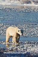 01874-12408 Polar bear (Ursus maritimus) walking on frozen pond in winter, Churchill Wildlife Management Area, Churchill, MB Canada