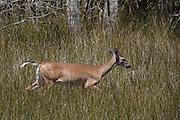 A White tailed deer runs through spartina grass along the salt marsh in Mount Pleasant, South Carolina.