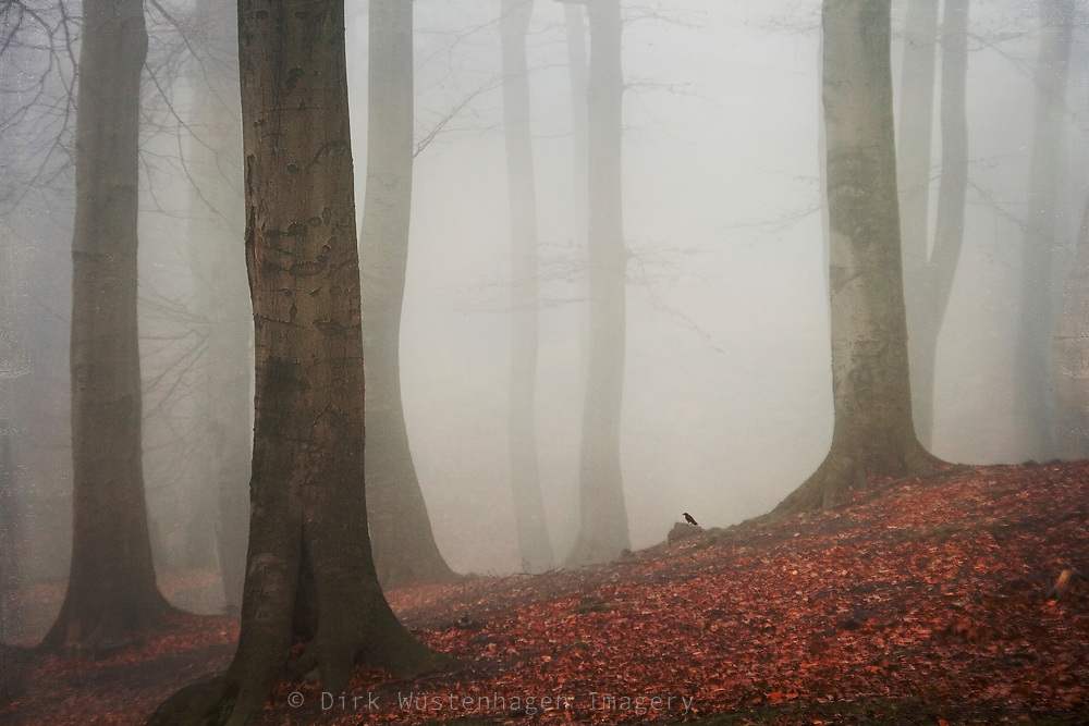 Beech tree forest in morning fog on an autumn day.<br /> <br /> Prints & more:<br /> http://society6.com/DirkWuestenhagenImagery/ambience-CqE_Print