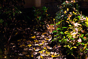 Fox, in Forest, suburban Brussels