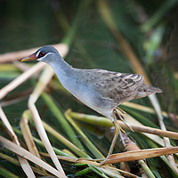 A delicate-looking inhabitant of densely vegetated wetlands, where it scrambles over floating plants and between the stems of standing ones. Brown above and pale gray below, with a small black mask around the eye bound in by two bold white stripes. Prefers to run away instead of fly; flight is weak, with dangling legs.