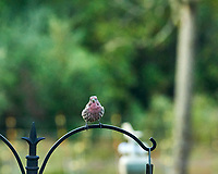 House Finch Image taken with a Nikon D850 camera and 200 mm f/2 VR telephoto lens