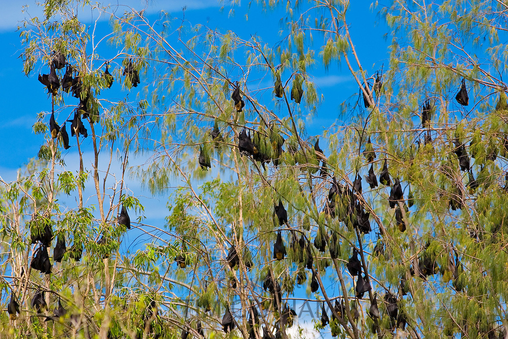 Colony of Spectacled Flying-fox bats, Port Douglas, Queensland, Australia