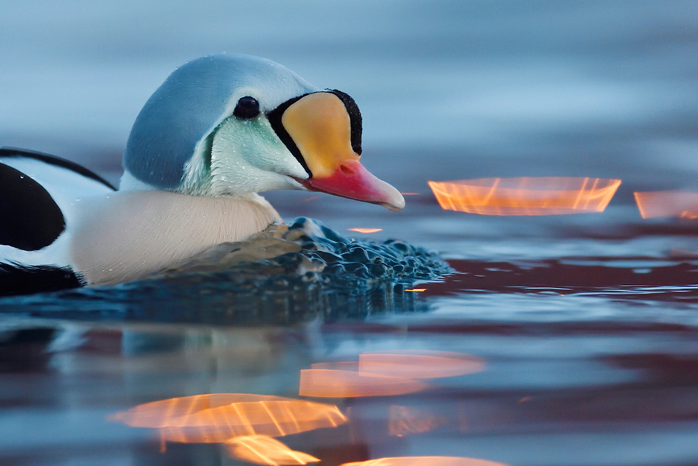 King eider duck male, Somateria spectabilis, Varanger Peninsula, Norway, Scandinavia