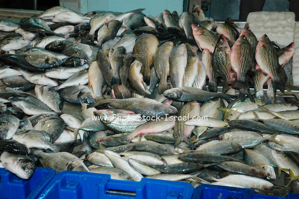 Fresh Fish at an outdoor market, Akko, Israel
