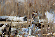 A short-eared owl (Asio flammeus) flies over driftwood as it hunts on Fir Island in Skagit County, Washington.