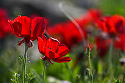Red  Papaver polytrichum Poppies Photographed Kidron valley, Judaean desert, West Bank Palestine Israel in March