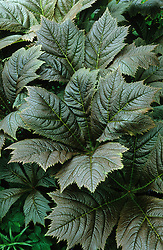 Rodgersia podophylla ( with new growth colour )