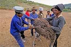 Ostrich Farm / Plucking Ostriches